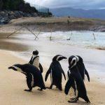 gruppo di pinguini boulders beach