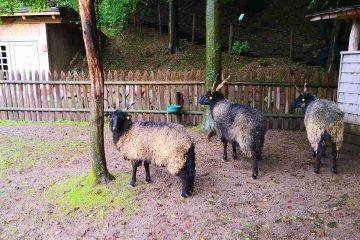 pecore ungheresi giardini castel trauttmansdorff