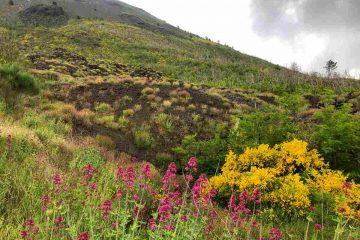 ginestre e fiori pendici vesuvio