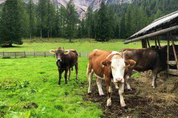 Mucche al pascolo malga grunwaldam