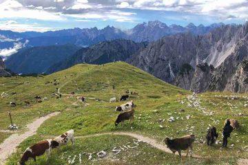 Mucche al pascolo su Dolomiti